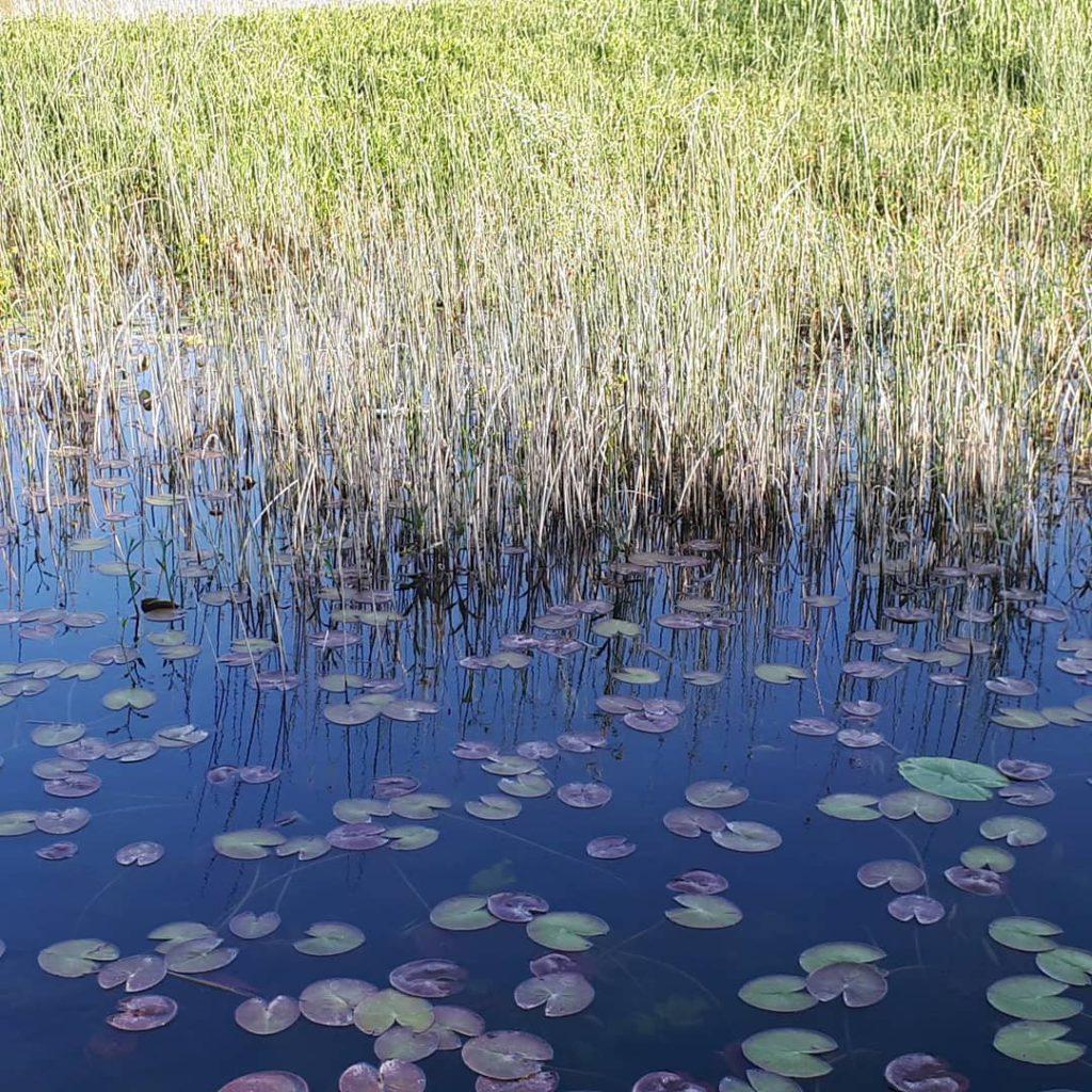 Кувшинки на Скадарском озере