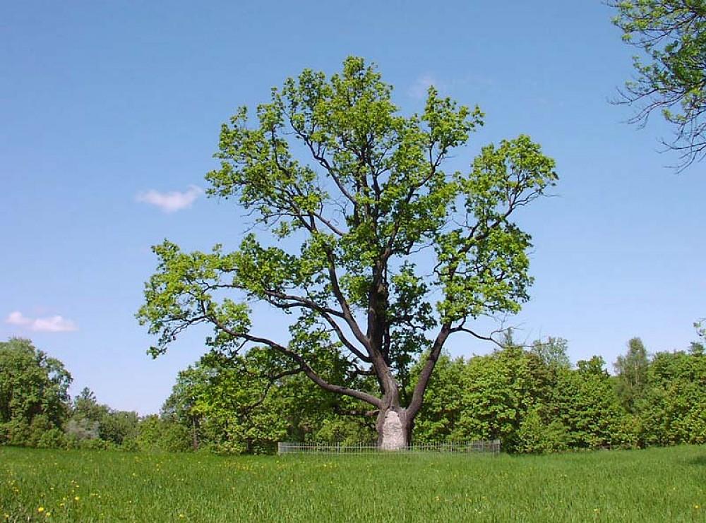 Многовековой дуб на Серебряном лугу
