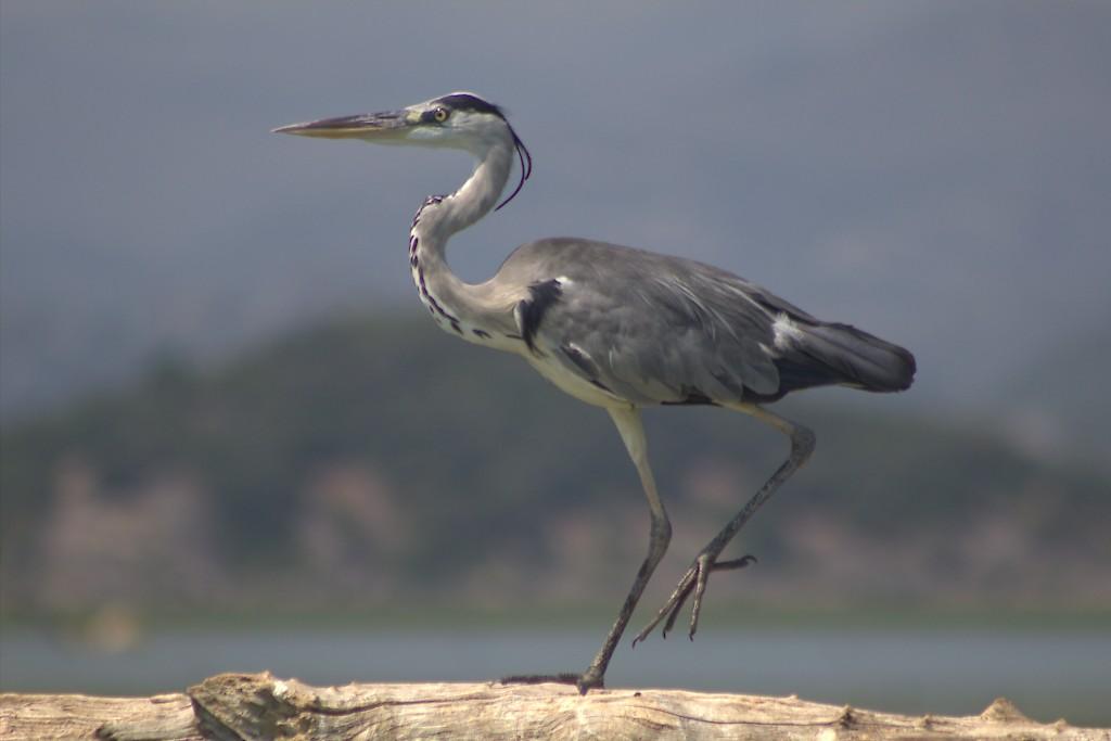 Красивейшая птица позирует около Скадарского озера
