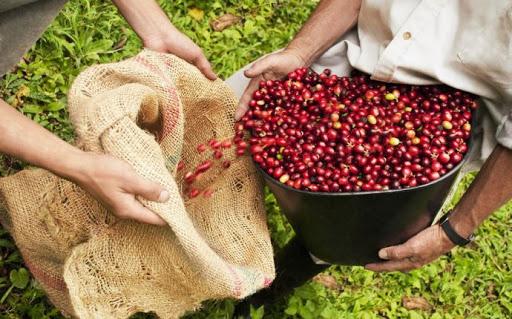 плантация кофе в Бразилии
