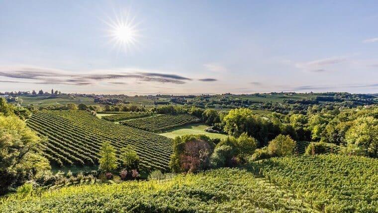 Виноградные поля Пино Гриджио