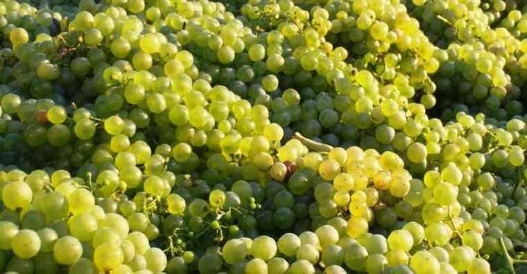 Виноград для вина Просекко